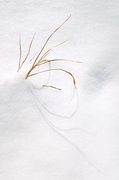 Grasses in the Winter Snow, color fine art photograph